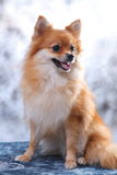 Pomeranain dog in the studio Stock Photos