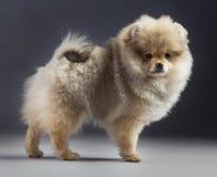 Pomerania puppy Stock Image