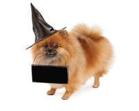 Pomeranian万圣夜运载空白的标志的巫婆狗 免版税库存图片