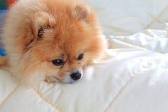 Pomeranian修饰狗穿戴在床a上穿衣 库存照片