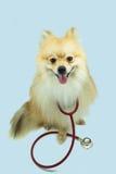 Pomeranian和听诊器 免版税库存图片