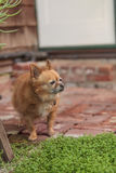 Pomeranian和奇瓦瓦狗混合 库存图片
