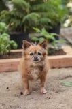 Pomeranian和奇瓦瓦狗混合 免版税库存图片