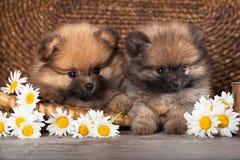 Pomeranian和春黄菊 图库摄影