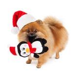 Pomeranian圣诞老人帽子和玩具 库存图片