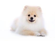 Pomeranian在白色背景的小狗 免版税库存图片