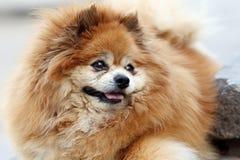 Pomeranian室外画象 免版税库存照片