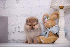 Pomeranian小狗和兔子 免版税库存照片