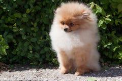 Pomeranian小狗在开花的绿色灌木附近坐 Deutscher波美丝毛狗或zwergspitz 免版税库存图片