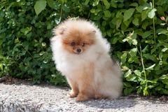 Pomeranian小狗在开花的绿色灌木附近坐 Deutscher波美丝毛狗或zwergspitz 库存照片