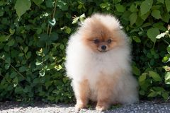 Pomeranian小狗在开花的绿色灌木附近坐 Deutscher波美丝毛狗或zwergspitz 免版税库存照片
