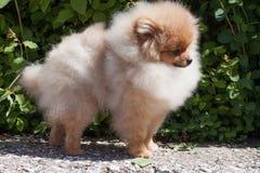 Pomeranian小狗在开花的绿色灌木附近站立 Deutscher波美丝毛狗或zwergspitz 免版税图库摄影