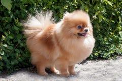 Pomeranian小狗在开花的绿色灌木附近站立 Deutscher波美丝毛狗或zwergspitz 库存图片