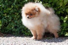 Pomeranian小狗在开花的绿色灌木附近站立 Deutscher波美丝毛狗或zwergspitz 库存照片