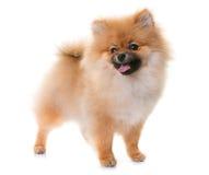 Pomeranian小狗在演播室 库存照片
