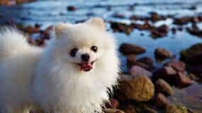 Pomeranian小狗微笑 免版税库存图片