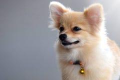 Pomeranian小狗有灰色背景 免版税库存图片