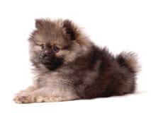Pomeranian小狗 免版税库存图片