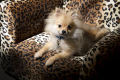 Pomeranian小狗 库存图片