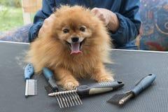 Pomeranian德国波美丝毛狗狗和修饰梳子 免版税库存图片