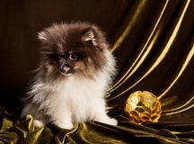 Pomeranian波美丝毛狗与新年球的狗小狗在圣诞节或新年 免版税库存图片