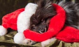 Pomeranian波美丝毛狗在圣诞老人帽子的狗小狗在圣诞节和新年 库存照片