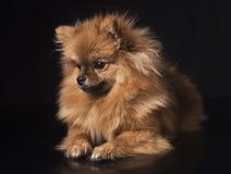 Pomeranian波美丝毛狗在演播室 库存图片
