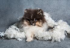 Pomeranian波美丝毛狗在诗歌选的狗小狗在圣诞节或新年 库存图片