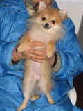 Pomeranian波美丝毛狗小狗在妇女的手上 图库摄影