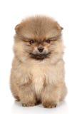 Pomeranian波美丝毛狗小狗特写镜头纵向 库存图片