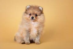 Pomeranian波美丝毛狗小狗 免版税图库摄影
