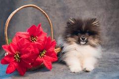Pomeranian波美丝毛狗狗小狗和红色花在圣诞节 免版税库存图片