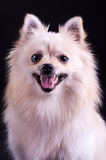 Pomeranian波美丝毛狗 免版税库存照片