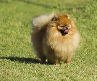 Pomeranian狗品种 免版税库存图片