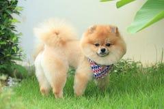 Pomeranian狗小狗逗人喜爱的宠物 免版税库存图片