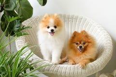 Pomeranian狗微笑,动物使用的外部微笑 图库摄影