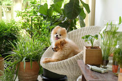 Pomeranian狗微笑,动物使用的外部微笑 免版税库存照片