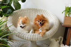 Pomeranian狗微笑,动物使用的外部微笑 免版税库存图片