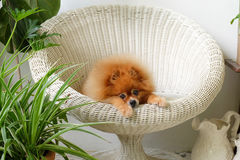 Pomeranian狗微笑,动物使用的外部微笑 免版税图库摄影