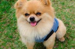Pomeranian狗的特写镜头坐草 免版税库存照片