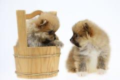 Pomeranian狗被隔绝在白色背景的背景,宠物在农场和在玩具小组的pomeranian狗外面,因为估量小 免版税库存图片