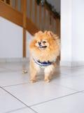 Pomeranian狗身分 免版税库存图片