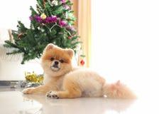 Pomeranian狗逗人喜爱的宠物在有圣诞树的家 免版税库存照片