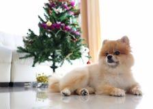 Pomeranian狗逗人喜爱的宠物在有圣诞树的家 免版税库存图片