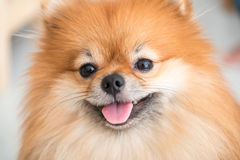Pomeranian狗逗人喜爱的宠物愉快在家 免版税库存照片