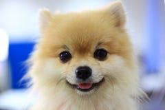Pomeranian狗逗人喜爱的愉快的微笑 图库摄影