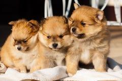 Pomeranian狗,特写镜头画象pomeranian狗 免版税库存照片
