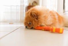 Pomeranian狗schpits谎言和悲伤 免版税图库摄影