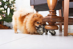 pomeranian的狗 免版税库存图片
