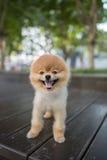 pomeranian的狗 免版税库存照片